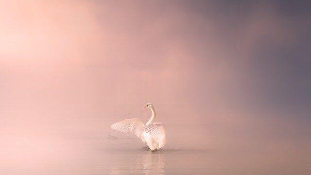 湖に佇む美しい白鳥