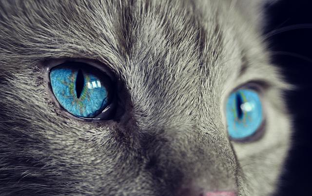 猫の青い瞳
